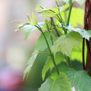 Trauben blühen klein
