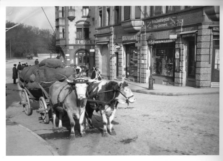 Historisches Ochsengespann in Stuttgart Berg
